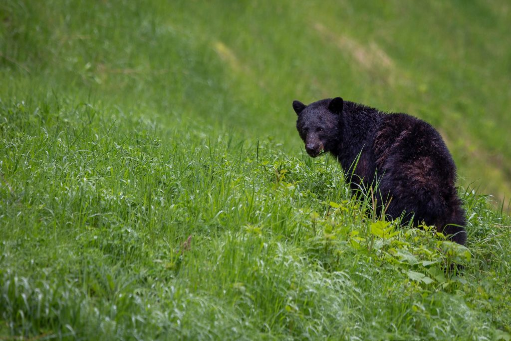 black bear on green grass field during daytime, Delhi to Tirthan Valley