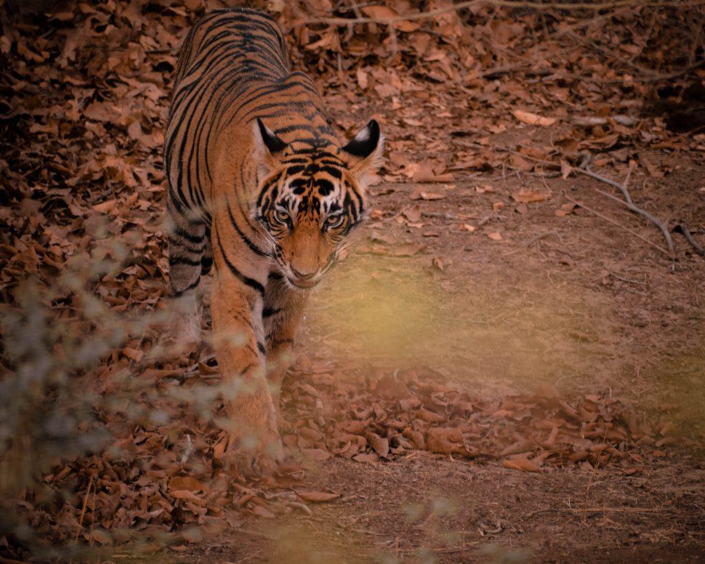 brown and black tiger walking on brown dirt
