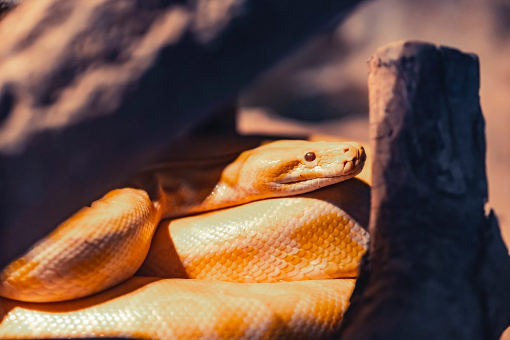 white and orange python lying near wood log